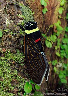 This is the Tacua speciosa, one of the world's largest and most beautiful species of cicada. It is found in Borneo, ....image by Ch'ien C. Lee