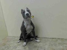 SAFE --- Brooklyn Center   ATHENA - A1022564   FEMALE, BLUE / WHITE, PIT BULL MIX, 1 yr STRAY - STRAY WAIT, NO HOLD Reason STRAY  Intake condition EXAM REQ Intake Date 12/07/2014, From NY 11236, DueOut Date 12/10/2014, https://www.facebook.com/Urgentdeathrowdogs/photos/pb.152876678058553.-2207520000.1418115092./918832138129666/?type=3&theater