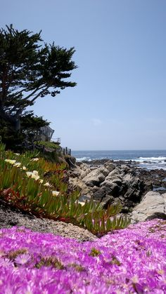 The crazy nature of California; ice plant - beach flower, pink and soft yellow flowers, Carmel, CA
