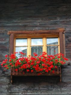 With Flowers Zermatt Switzerlandby Lisa S Engelbrecht Red Geraniums In Window Box Zermatt Switzerland Window Box Flowers, Window Boxes, Flower Boxes, Balcony Flowers, Window Ideas, Window Sill, Window Planters, Planter Boxes, Zermatt