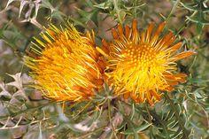 Dryandra nivea ile ilgili görsel sonucu