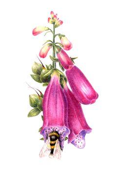 Foxglove by Sue Vize Botanical Drawings, Botanical Illustration, Botanical Prints, Illustration Art, Scientific Drawing, Unusual Plants, Delphinium, Colorful Garden, Art Tutorials