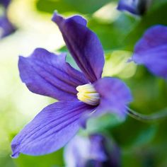 Clematis Clematis bloom in a range of color, but the true blue-flowering varieties, such as 'Crystal Fountain', 'Ice Blue', or 'Arabella' are among the most charming.  ,