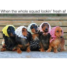 when the whole squad looking fresh AF dachshund memes by @beangoods