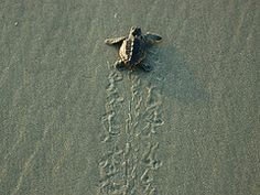 Carson loves the sea turtles Charleston South Carolina, Charleston Sc, Loggerhead Turtle, Seabrook Island, Pack Up And Go, Island Beach, Spring Break, Places To Travel, Places Ive Been