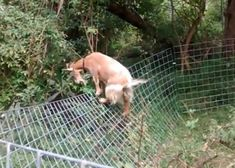 Goat Fencing: 6 Important Tips to Consider to Build the Perfect Fence - The Best Goat Playground Ideas, Tips, Plans and Images Cabras Boer, Goat Fence, Female Goat, Goat Shelter, Animal Shelter, Happy Goat, Goat Barn, Raising Goats, Mini Farm