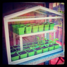 Little ikea greenhouse doing wonders for my seeds.