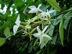 Malati-Aganosma sp.fragrant Indian Vine,member of Dogbane family.  C.Flowers of India