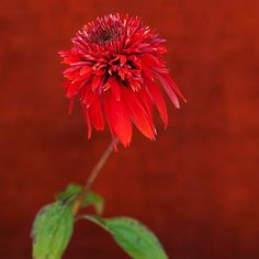 The cranberry color of this pompom-like flower will electrify your garden! More must-grow new perennials: http://www.bhg.com/gardening/flowers/perennials/new-perennials/?socsrc=bhgpin061913cranberry=13