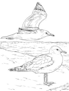 Click To See Printable Version Of Two California Gulls Coloring Page
