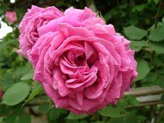 バラ苗 ポール・ネイロン(大苗予約)7号鉢植え オールドローズ(アンティークローズ) ピンク