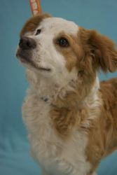 Dulce is an adoptable Spaniel Dog in Broomfield, CO.  Dulce is a great choice for someone who wants to skip the puppy stage and go straight to the good dog stage. She's approx 10 mos, spayed. She's a ...