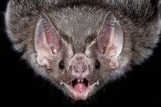 A picture of a vampire bat. I find it cute in the ugly kind of way. Vampire bats aren't the cutest type of bat. A face only a mother could love. Murcielago Animal, Bat Pics, Cute Bat, Vampire Bat, Creatures Of The Night, Zoology, Monster, Animal Kingdom, Pet Birds