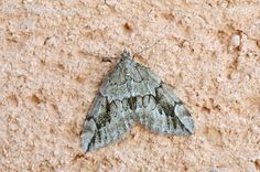 Thera juniperata (Linnaeus, 1758)