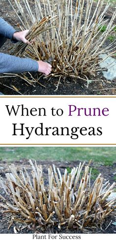 Knowing when to prune hydrangeas can be confusing Some hydrangeas bloom on old wood and others on new wood Incorrect pruning could mean cutting off flowers Check out this guide for correct pruning methods and hydrangea care hydrangeagarden # When To Prune Hydrangeas, Pruning Hydrangeas, Planting Flowers, Pruning Plants, Flowers For Planters, Lavender Pruning, Shade Flowers, Flower Gardening, Growing Flowers
