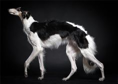 Borzoi in a graceful pose. #borzoi #dogs #Russian