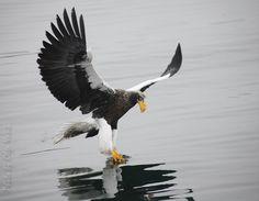 Steller's sea eagle (Haliaeetus pelagicus - Белоплечий (тихоокеанский) орлан). Vladivostok. Владивосток, Бухта Золотой Рог. Фото: Olga Vasik. 2016 г.   https://www.facebook.com/photo.php?fbid=782914371841612&set=a.618026584997059.1073741849.100003691707938&type=3&theater