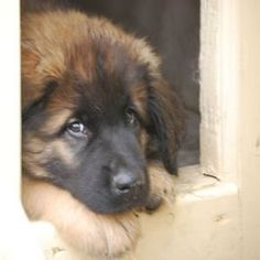 Ok, now this could be Maggie's double. It is a Leonberger. I'm so confused.