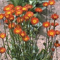 ORANGEBINKA i gruppen Perenner hos Impecta Fröhandel (6218) Planters, Planter Boxes, Window Boxes, Flower Planters