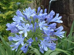 Front boxwood bed:agapanthus