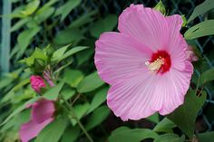 hibiscus mutabilis - 芙蓉