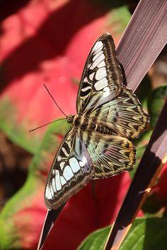 Blue Clipper Butterfly ~ by lojo2photos*