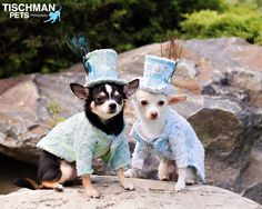 Anthony Rubio Designs - Canine Couture Amazing photo of my #Chihuahuas Bogie and Kimba wearing Anthony Rubio Designs. www.AnthonyRubioDesigns.com  . .  Photo by Geoffrey Tischman of Tischman Pets Photography - @geofftischman . #AnthonyRubio #PetFashion #CanineCouture #Dogs # CoutureDogs #Cute Dogs #Cute Pic   Anthony Rubio, Bogie And Kimba, Pet Fashion, Couture Dogs, Canine Dogs, Dogs, Cute Dogs, Cute Pic,