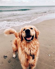 Stunning hand crafted golden retriever accessories and jewelery available at Paws Passion Shop! Represent your golden retriever pup with our merchandise! Source by mariahaho The post Products appeared first on McGregor Dogs. Cute Baby Animals, Animals And Pets, Funny Animals, Happy Animals, Best Dog Breeds, Best Dogs, Cute Dogs Breeds, Pet Breeds, Puppy Breeds