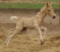 Tennessee Walking Horses For Sale - Gaited Horses -Tennessee Walking Horse for sale - Generators In Command Now Funny Horse Pictures, Tennessee Walking Horse, Horse Ranch, Free To Use Images, Horse World, Horse Quotes, Horse Tips, Horses For Sale, Horse Training