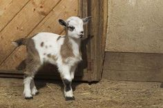 Know the Basics | 16 Tips for Raising Goats | Beginners Guide to Livestock - Homesteading Ideas by Survival Life at http://survivallife.com/16-tips-for-raising-goats/