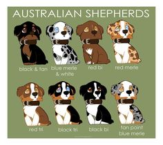 Love their colors :)  Australian Shepherd Color Patterns by briteddy.deviantart.com #australianshepherd
