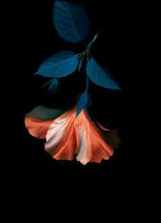 "duxuebing: ""Photography by Xuebing DU "" Flower Wallpaper, Nature Wallpaper, Flower Aesthetic, Motif Floral, Botanical Art, Pretty Flowers, Aesthetic Wallpapers, Flower Art, Planting Flowers"