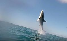 A great white shark leaps toward the heavens and appears to fly in South Africa's Mossel Bay, astonishing the crew and passengers of a cage-diving vessel.