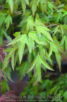 Acer buergerianum Mino yatsubusa Trident Maple
