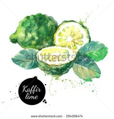 Kaffir lime. Hand drawn watercolor painting on white background. Vector illustration - stock vector