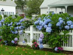 Hydrangeas on a fence.