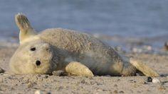 Über Jahrhunderte waren die Kegelrobben in der Nordsee praktisch ausgerottet. Jetzt erobern sie jedes Jahr ein größeres Stück der Hochseeinsel Helgoland.