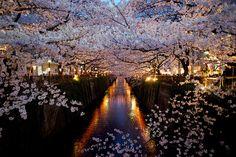 Cherry Blossom 2012 by toshyie, via Flickr