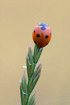 Ladybug by Marco Milanesi, via Flickr