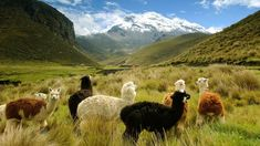 Five Unforgettable Rail Journeys: Tren Crucero, Ecuador Alpacas, Places To Travel, Places To See, South America Destinations, Travel 2017, Equador, Win A Trip, Galapagos Islands, Medieval Town
