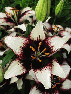 Black Eye Lily-Asiatic Hybrid Lily Bulb-Next to Hydrangeas. Tiger Lily Flowers, Love Flowers, My Flower, Beautiful Flowers, Lilium Martagon, Lily Garden, Lily Bulbs, Oriental Lily, Asiatic Lilies