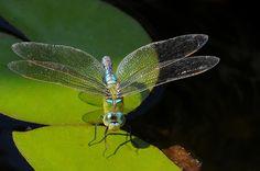 Grosse Königslibelle Insects, Animals, Animales, Animaux, Animal Memes, Animal, Animais, Dieren