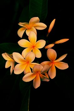 Plumeria Hawaiian flowers Flores de Hawaii