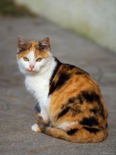 Domestic Cat Sitting (Felis Catus) Europe
