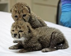 Baby cheetahs. Wish I could have went on the safari in S.Africa that had these!!!