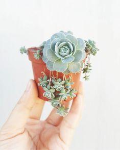 """We Ship Succulents on Instagram: """" """"To Plant a garden is to believe in tomorrow"""" -Audrey Hepburn : @_momochichak_"""""""