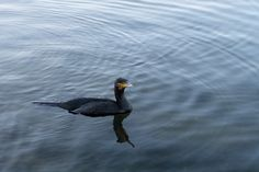 A cormorant that is not shy