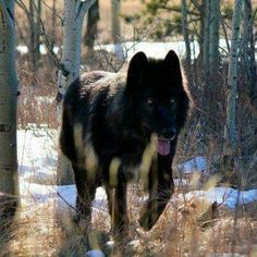 The Wolf... What a beauty