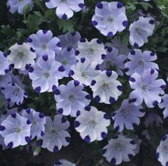 """Five Spot ( Nemophila maculata )  Lovely groundcover, white, blue spots, covered with blooms all summer, reseeds itself. Annual growing 6"""" tall, blooming in 8 weeks from seed.     http://www.seedman.com/newann.htm"""