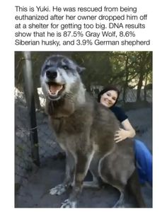 This is Yuki. He was rescued from being euthanized after her owner dropped him off at a shelter for getting too big. DNA results show that he is Gray Wolf, Siberian husky. and German shepherd - iFunny :) German Shepherd Husky, Dna Results, Buzzfeed Animals, The Perfect Dog, Dog Selfie, Dog Training Tips, New Puppy, Happy Dogs, Dog Mom